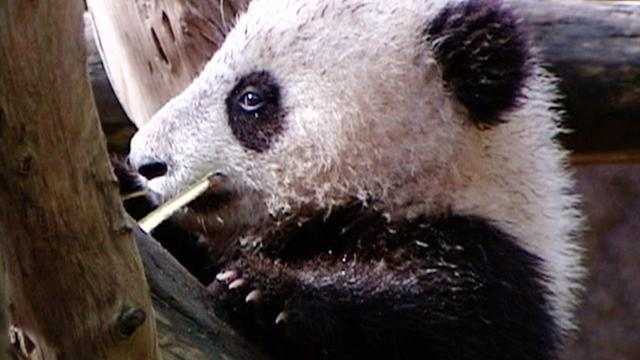 Baby panda makes debut at San Diego Zoo