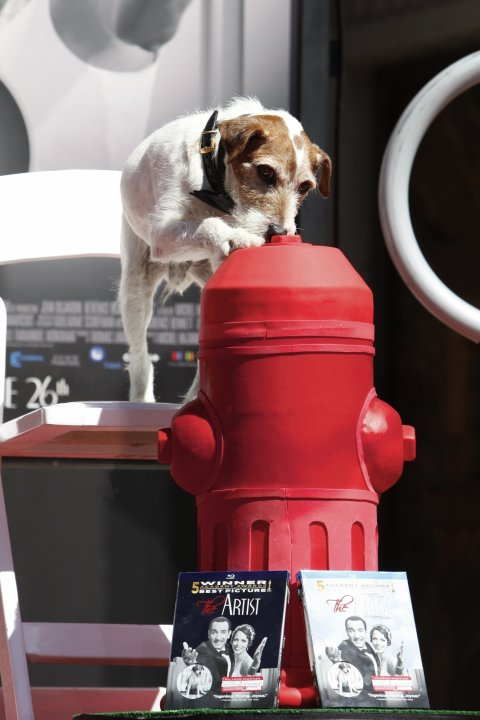 Superstar Dog Uggie attends the pawprint ceremony for Uggie the dog at Grauman's Chinese Theatre on Monday June 25, 2012 in Los Angeles. The canine star of the Oscar-winning film &quot;The Artist&quot; became t