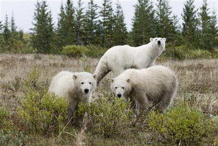 Polar bears are seen south of Churchill, Manitoba, in this undated handout photo.
