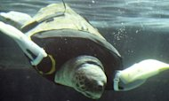 Disabled Turtle Yu Given Prosthetic Flippers