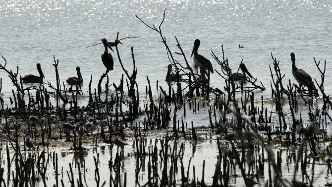 Pelicans are seen sitting on dead mangrove stumps that were formerly nesting grounds atop the mangrove on Cat Island in Barataria Bay in Plaquemines Parish, La., Wednesday, April 11, 2012. (AP Photo/Gerald Herbert)