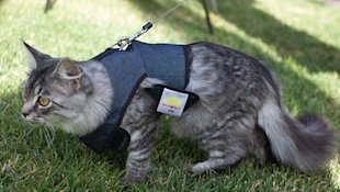 A cat in a walking jacket