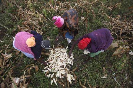 Zimbabwean women harvest maize from a field in a peri-urban suburb of Mabvuku in Harare