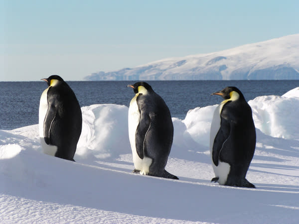 Emperor Penguins Need Sea Ice for Foraging