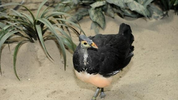 Bizarre Egg-Burying Birds Hatch at Bronx Zoo