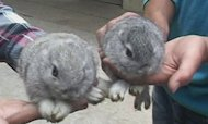 Rare Earless Bunnies Found In Chinese Village