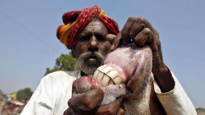 A trader displays the teeth of a donkey during an annual donkey fair at Vautha
