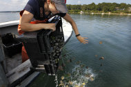 Tisbury, Mass., Shellfish Constable Danielle Ewart releases adult scallops back into the wild in Lagoon Pond, in advance of the arrival of Hurricane Irene, in Vineyard Haven, Mass., on the island of island of Martha's Vineyard, Friday, Aug. 26, 2011. The scallops, which were removed from cages where they were placed to spawn, could be killed if left in the containers during a violent storm. (AP Photo/Steven Senne)