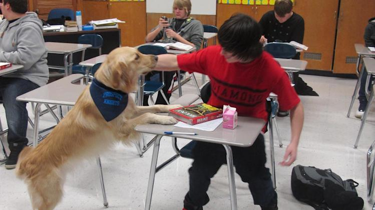 """In this Jan. 14, 2013 photo, a student pets Junie, the school's """"therapy dog,"""" at Prospect High School in Mt. Prospect, Ill. Stress, anxiety and panic attacks are on the rise at many U.S. high schools, due to heightened academic expectations and troubles at home made worse by the shaky economy. So some schools are trying unconventional methods, such as therapy dogs, to help students cope. (AP Photo/Martha Irvine)"""