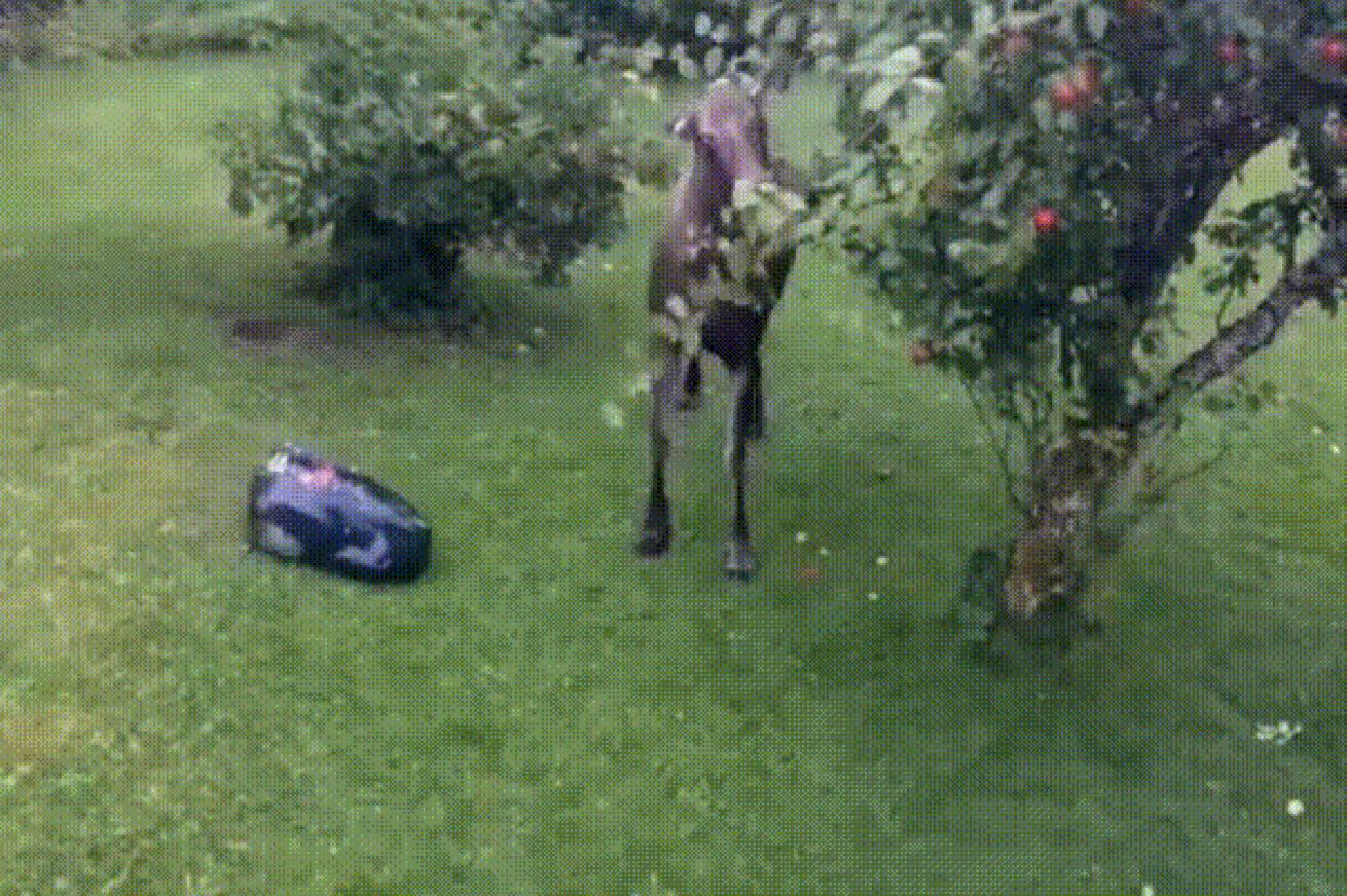 Whatever you do, don't send your robot lawnmower after a moose