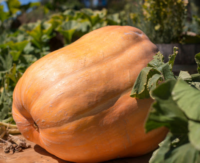 Join Kunde Family Estate for the 2nd annual Giant Pumpkin Festival - October 11th & 12th, 2014!