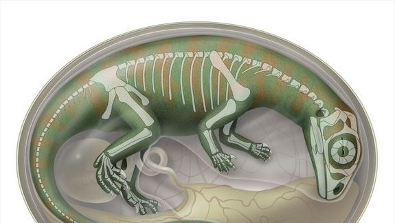 Baby Dinos Wriggled in Eggs, Fossil Embryos Show