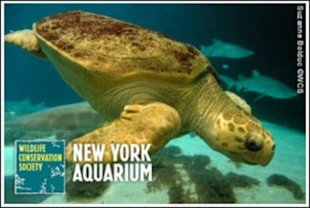 Sea turtles are just one of the immense animals at the New York Aquarium that may need to be relocated.