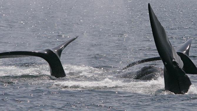 "FILE - This April 10, 2008 file photograph shows three right whales cresting their tails on the surface near Provincetown, Mass., in Cape Cod Bay.  A study off the Massachusetts coast has concluded that increasing amounts of underwater noise, largely from shipping traffic, is surrounding rare right whales in an ""acoustic smog,"" making it harder for them to communicate. (AP Photo/Stephan Savoia)"