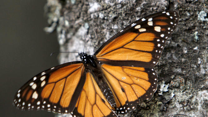 FILE - In this Dec. 9, 2011 file photo, a Monarch butterfly perches on a tree at the Sierra Chincua Sanctuary in the mountains of Mexico's Michoacan state. The number of Monarch butterflies wintering in Mexico has plunged to its lowest level since studies began in 1993. A report released on Wednesday, Jan. 29, 2014 by the World Wildlife Fund, Mexico's Environment Department and the Natural Protected Areas Commission blames the dramatic decline on the insect's loss of habitat due to illegal logging in Mexico's mountaintop forests and the massive displacement of its food source, the milkweed plant. (AP Photo/Marco Ugarte, File)