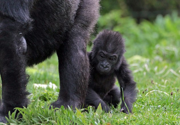 Kukena, Bristol Zoo's Baby Gorilla Starts To Walk