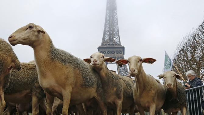 Sheep are gathered in front of the Eiffel tower in Paris during a demonstration of shepherds against the protection of wolves in France
