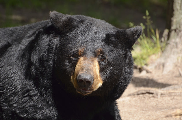 File photo of a black bear (Thinkstock)