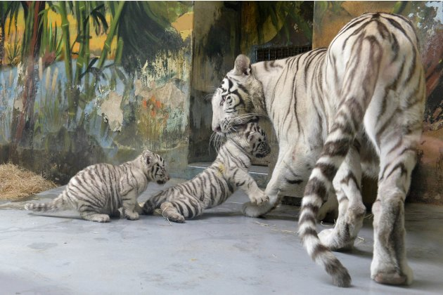 A female White tiger and her cubs are seen after a medical examination by veterinary surgeons at Bratislava Zoo