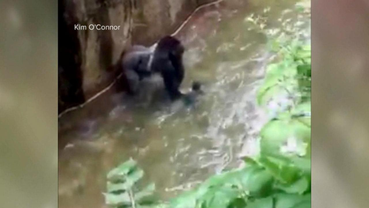 Cincinnati Zoo 'Would Make the Same Decision' Again to Shoot Gorilla, Director Says