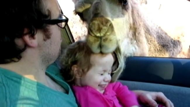 Hungry Camel Tries To Get In Car, Eat Little Girl