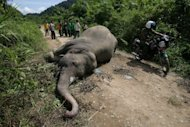 Indonesian wildlife officials and villagers view the body of a rare Sumatran elephant on road in a palm oil plantation in Aceh Jaya in Aceh province on May 1, 2012. A second dead Sumatran elephant has been found dead in Aceh province on Tuesday