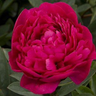 'Kansas' Herbaceous peony