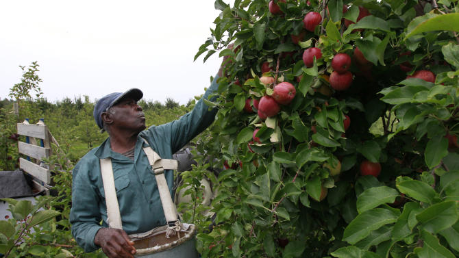 Worker Eustes Francis, of Jamaica, picks apples at Carlson Orchards, in Harvard, Mass., Tuesday, Oct. 2, 2012.  Many orchards across New England are facing shortages after a warm spring and late April freeze killed early blossoms. (AP Photo/Steven Senne)