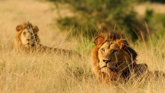 """Two Healthy Lions, and Their Cubs, """"Zoothanized"""" … Why? (Op-Ed)"""