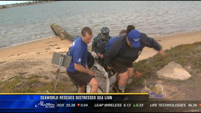 SeaWorld rescues distressed sea lion