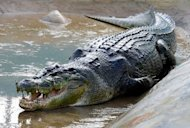 "File photo taken in September 2011 shows the saltwater crocodile called ""Lolong"", which was captured in the Agusan marsh on the island of Mindanao last September. Lolong has been declared the largest such reptile in captivity by the Guinness Book of World Records"