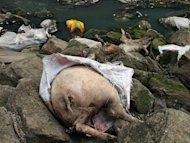 Dead pigs lie on rocks next to a tributary of the Yangtze River, on March 12, 2013. Shanghai said the end of an embarrassing pollution case which saw dead pigs floating down the city's main river was in sight, with the total number recovered now standing at more than 16,000