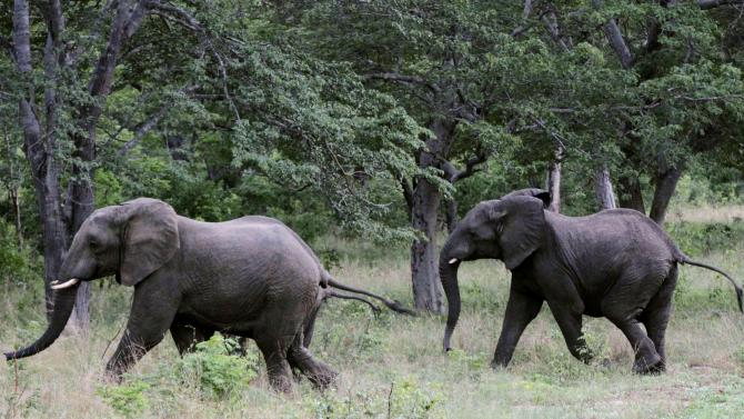A pair of elephants walks inside Zimbabwe's Hwange National Park