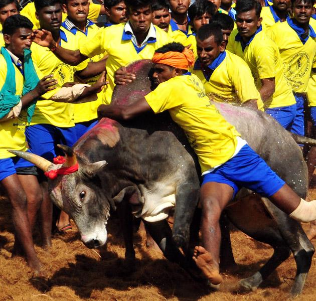 Participants attempt to hold down a bull during the traditional bull taming festival called 'Jallikattu' in Palamedu near Madurai, around 500km south of Chennai, on January 15, 2013. Jallikatt