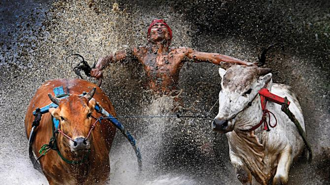 In this photo provided on Friday Feb. 15, 2013 by World Press Photo, the 1st prize Sports – Sports Action Single by Wei Seng Chen, Malaysia, a jockey, his feet stepped into a harness strapped to the bulls and clutching their tails, shows relief and joy at the end of a dangerous run across rice fields. The Pacu Jawi (bull race) is a popular competition at the end of harvest season keenly contested between villages in Batu Sangkar, West Sumatra, Indonesia, Feb. 12, 2012. (AP Photo/Wei Seng Chen)