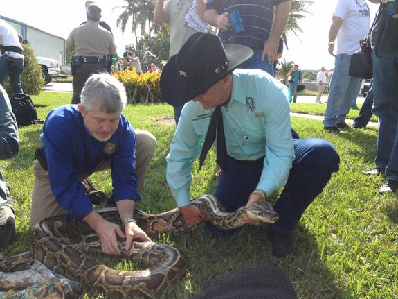 95 Burmese Pythons (and Counting) Captured in Everglades