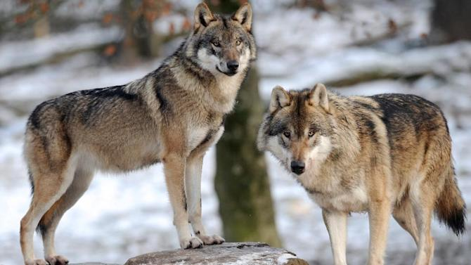 European grey wolves are pictured in an animal park of Sainte-Croix, in Rhodes, eastern France, December 12, 2012