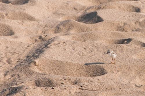 Plover Predator Plan; Affordable Housing in Eastham; More!