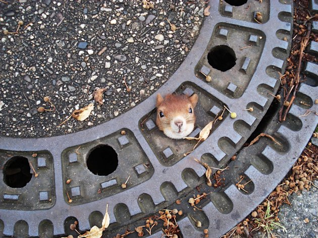 In this photo taken Aug. 5, 2012 and publicly provided by the police department Hanover, Germany , on Aug. 6, 2012,  a squirrel is trapped in a manhole cover  in Isenhagen, northern Germany. After the