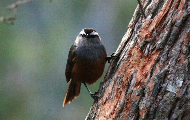 &lt;b&gt;Grey-breasted Laughingthrush:&lt;/b&gt; Birding jargon can be funny. Say, laughingthrushes belong to the babbler family! This one is endemic to these hills. And the name laughingthrush because the calls resemble human laughter.