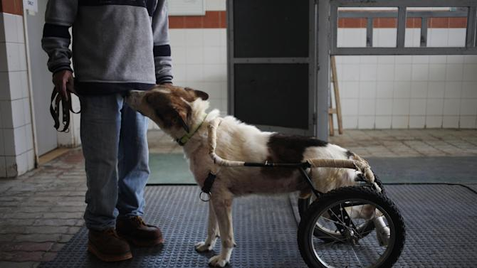 In this Wednesday, Dec. 4, 2013 photo, a zoo keeper shows Abyad on a wheeled dog cart at the Humane Center for Animal Welfare in Amman, Jordan. Abyad legs were injured in an incident of abuse. Dog breeding coupled with dognapping is a thriving business in Jordan, where lax laws call for only a $7 fine for violators and police remain hesitant to pursue those suspected of animal abuse. Activists have campaigned for years for increased penalties, but lawmakers seem uninterested to pursue it in a culture where animal abuse remains rampant. (AP Photo/Mohammad Hannon)