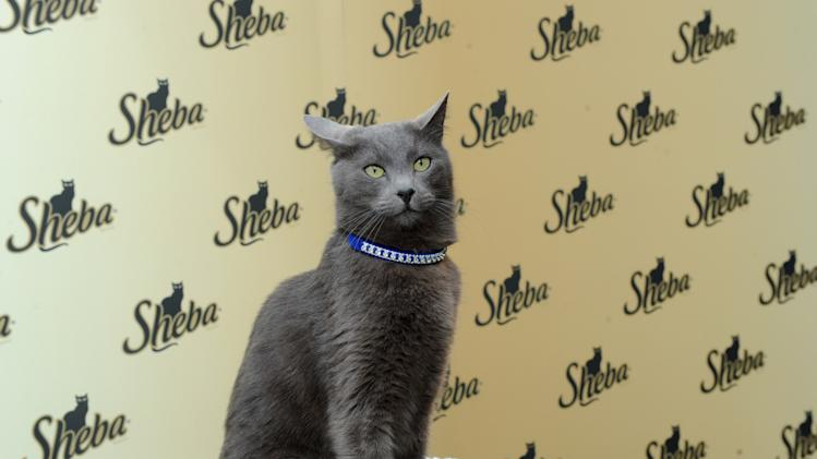 IMAGE DISTRIBUTED FOR SHEBA - The SHEBA brand's iconic Russian Blue cat helps kick-off the SHEBA. Feed your passion. Contest, in which cat lovers can enter for the chance to have the SHEBA brand help feed one of their passions in a big way, Thursday, March 7, 2013, in New York.  Visit Sheba.com/FeedYourPassion to enter and to learn more about SHEBA Entrees for Cats.  (Photo by Diane Bondareff/Invision for SHEBA/AP Images)