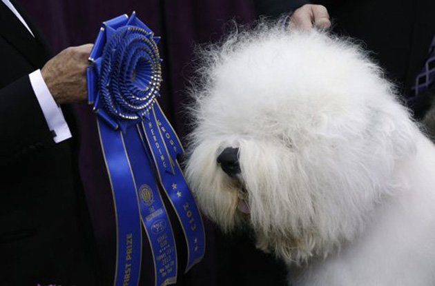 Swagger, an Old English Sheepdog, wins the herding group at Westminster (Mike Segar/Reuters)