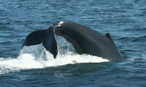 Humpback Whales Learn Hunting Technique from Peers