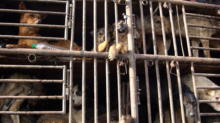 In this photo taken Friday, April 15, 2011 and released by Capital Animals Welfare Association, dogs are seen behind cages on a truck transporting them from Henan province to Jilin province as it passes a toll booth near Beijing, China. Chinese animal lovers mobilized by online calls for help blockaded a truck of hundreds of dogs being shipped off for food in a rare, permitted display of social action amid a broad crackdown on most kinds of activism. (AP Photo/Capital Animals Welfare Association)