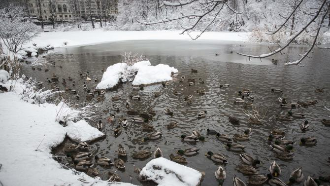 Ducks swim inside of a pond in Central Park after a fresh snowfall in New York