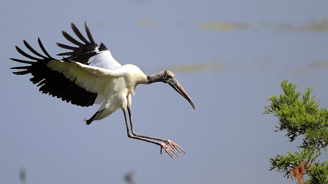"""An adult wood stork lands on a branch during a tour by U.S. Interior Secretary Sally Jewell in Townsend, Ga., Thursday, June 26, 2014. Jewell announced Thursday that the federal government is upgrading the wood stork to a """"threatened"""" species, a step up from endangered that indicates the birds are no longer considered at risk of extinction. (AP Photo/Stephen B. Morton)"""