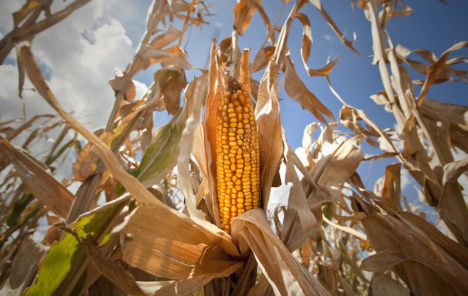 Kan. corn forecast 38 percent above last year