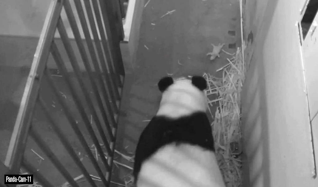 'It's a boy,' US zoo says of surviving panda