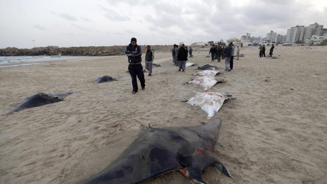 "In this Saturday, March 9, 2013 photo, Palestinian men look at dozens of devil rays lined up on the Gaza beach in Gaza City. Gaza cuisine is Mediterranean-based, relying on olive oil, fresh vegetables, herbs and grains. ""The Gaza Kitchen"" is being praised by celebrity chefs like Anthony Bourdain for showcasing a unique, fiery variation of Mediterranean cuisine kept alive through blockade, war and impoverishment. (AP Photo/Hatem Moussa)"